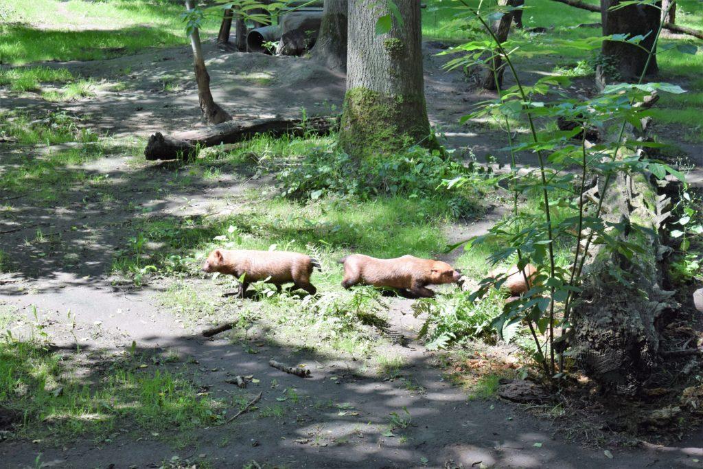 Les chiens de buisson